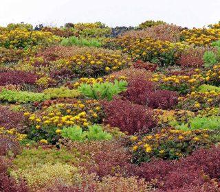 Extensive Dachbegrünung wird zur Pflanzenlandschaft