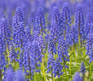 blue and green background from muscari blossom