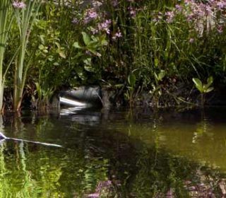 gardener with straw hat cleans pond with a net, swimming pond with flowering shore planting and field stones in the background gaertner mit strohhut reinigt teich mit einem Kescher, schwimmteich mit blühender uferbepflanzung und feldsteinen im hintergrund