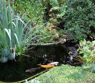 bassin de jardin et carpes koï