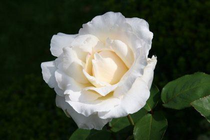 rose-bb