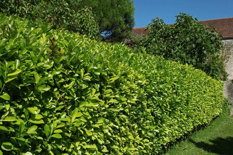 hecken richtig pflanzen tipps vom fachmann haas galabau. Black Bedroom Furniture Sets. Home Design Ideas