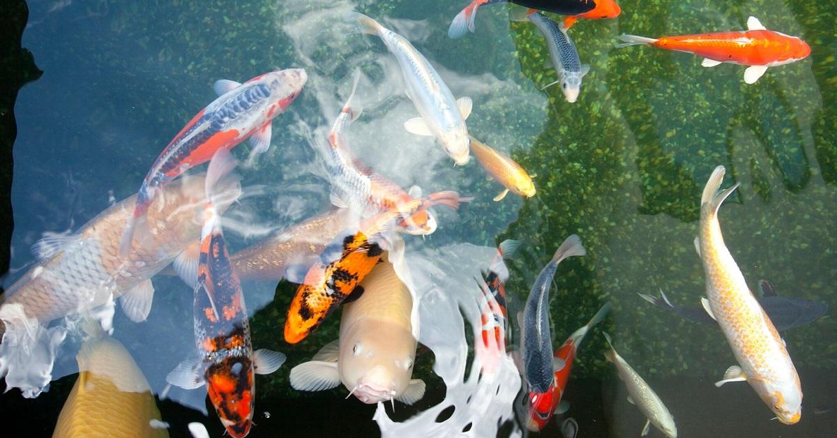 Fischteich richtig anlegen mit profitipps von haas for Gartenteich mit goldfischen