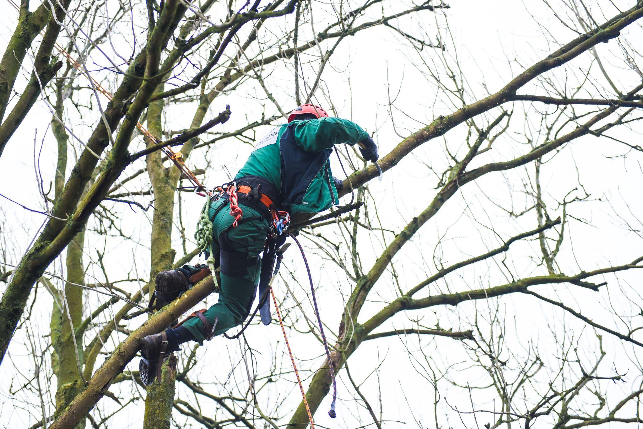 Gärtner beim Baumschnitt